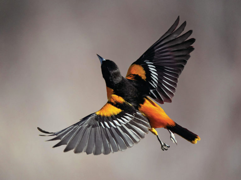 Baltimore orioles fly north each spring from as far south as northern Venezuela (Janet Griffin-Scott/Alamy)