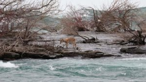 The white-tailed deer stranded on a small, nameless island next to Horseshoe Falls (Kip Finn)