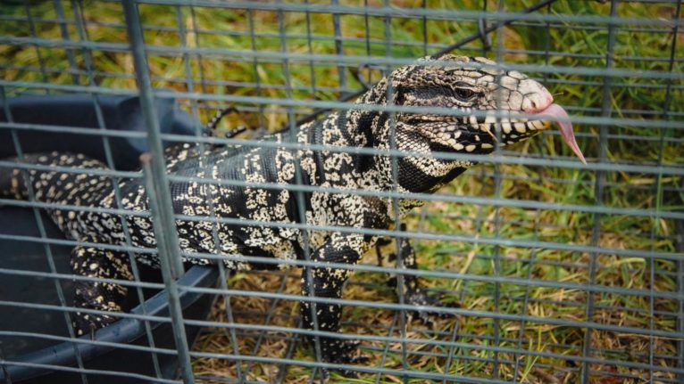 The Argentine black and white tegu can grow as long as 130 cm and eats just about anything (Photograph by Nicole Craine)