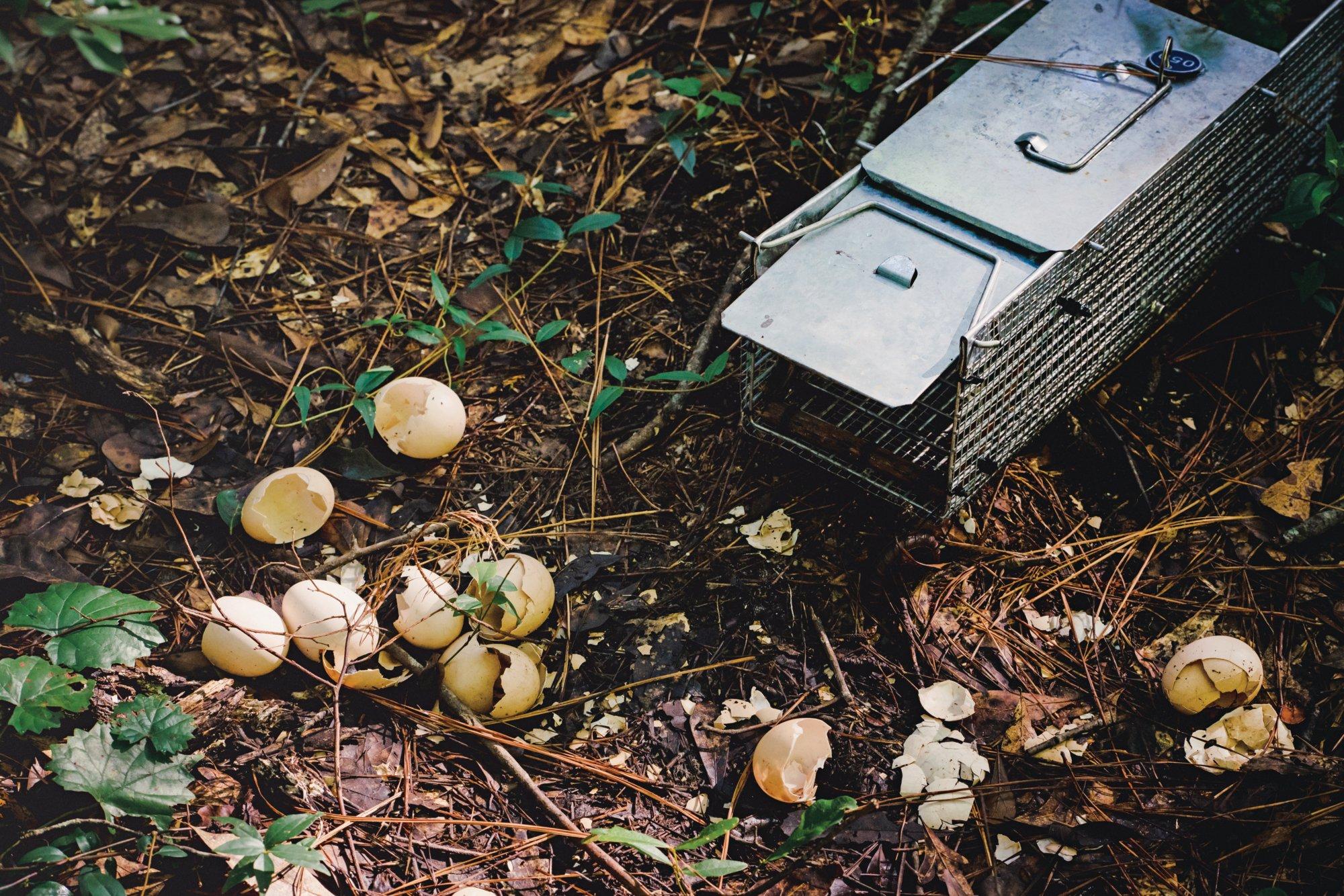 Broken eggshells outside a tegu trap (Photograph by Nicole Craine)