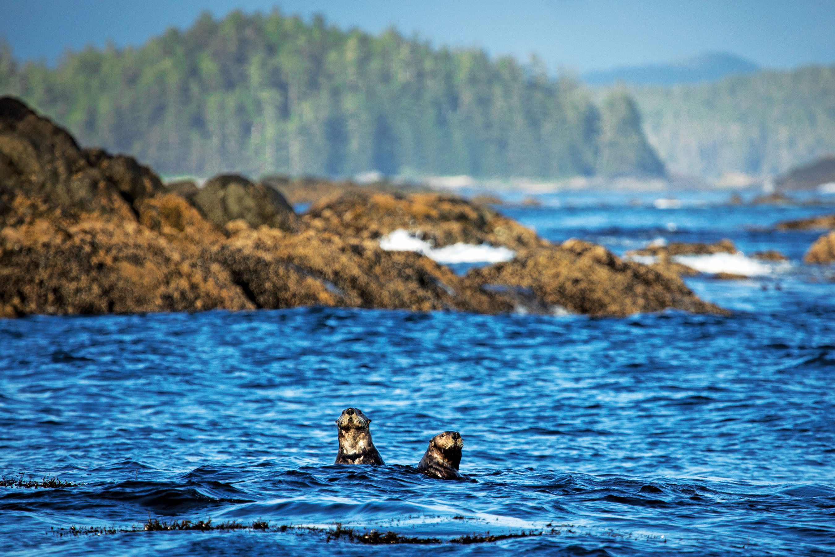 Sea otters off Vargas Island in B.C.; the animals eat 20 per cent of their body weight each day (Photograph by Melissa Renwick)