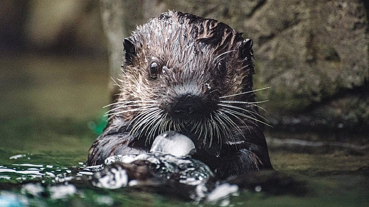 How this baby otter is helping keep Vancouver Aquarium afloat - Macleans.ca