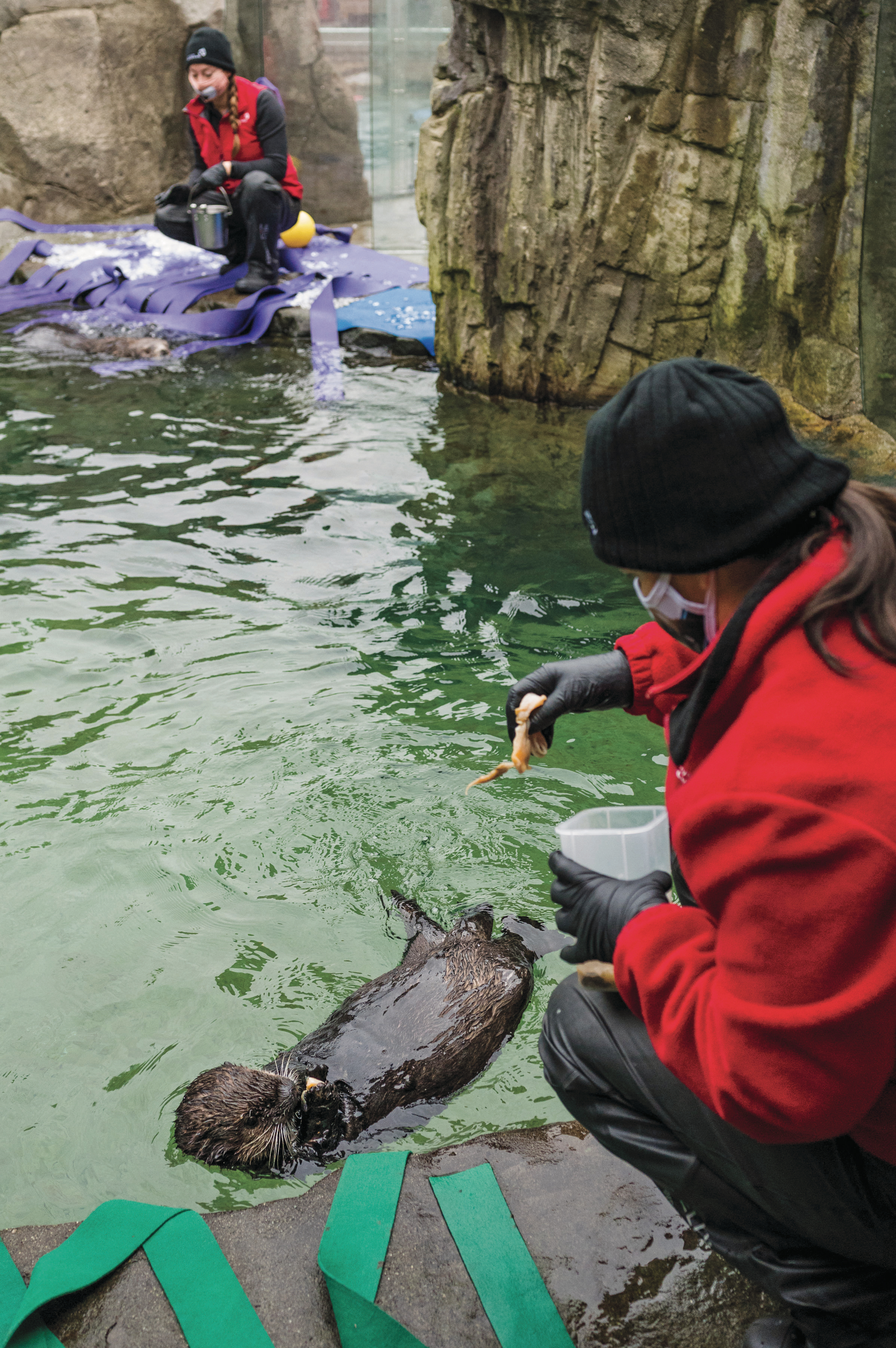 The otter's pandemic-weary fans watch as he eats, sleeps, plays and is groomed by his caretakers (Photograph by Felicia Chang)