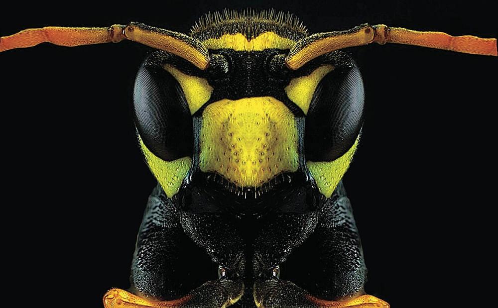 جلیقه زرد آلاسکا (Vespula alascensis): ظاهر پلید این زنبور عادی آمریکای شمالی مناسب است - نیش ژاکت های زرد ، بنابراین مگر اینکه حرفه ای باشید ، از این کار دوری کنید.