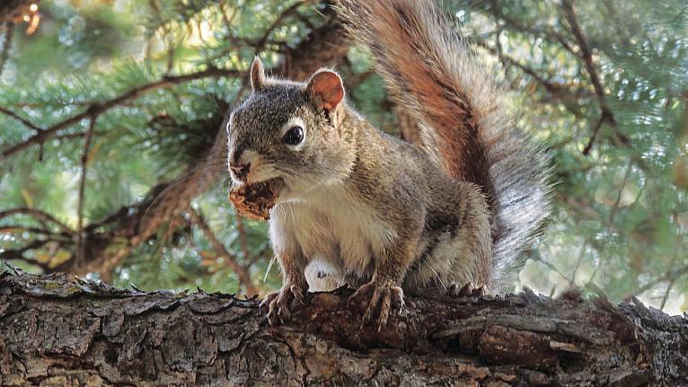 American red squirrel (Tamiasciurus hudsonicus) with a pine cone snack. (NK Sanford/Alamy)